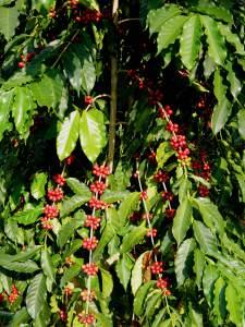 Coffee-Plants-4_Fotor-LRES
